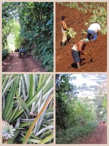 Passeio de Quadriciclo pelo interior de Moorea - platanções de abacaxi