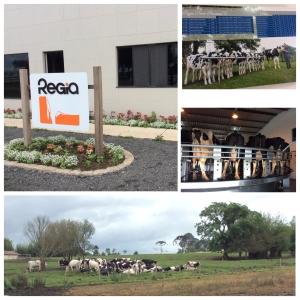 Agropecuária Régia e a história documentada da vaca Régia que reproduziu uma família leiteira.