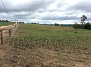 Campos cultivados por toda a Colônia.